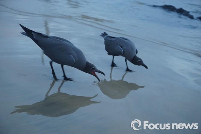 부리와 다리가 검은색이고 전체적으로는회색 빛을 띤다. 해안가에서 어류, 갑각류,도마뱀을 잡아 먹는다. - 부리와 다리가 검은색이고 전체적으로는회색 빛을 띤다. 해안가에서 어류, 갑각류,도마뱀을 잡아 먹는다. <사진제공=전수경> 2016.03.15 포커스포토 photo@focus.kr 제공